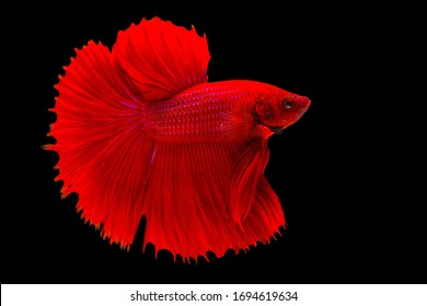 Halfmoon betta fish, Siamese fighting fish, Betta splendens Pla-kad ( biting fish )Thai, popular aquarium fish. Big ears dumbo Red half moon long tail Betta Fighting isolated on Black background