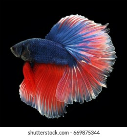 Halfmoon Betta on black background. Beautiful fish. Swimming flutter tail flutter.