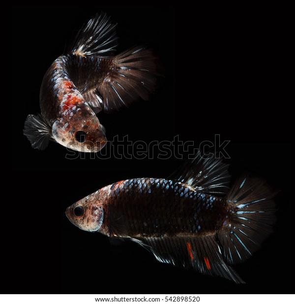 Halfmoon Plakad Betta on black background. Beautiful fish. Swimming flutter tail flutter.It male betta. Black fancy.