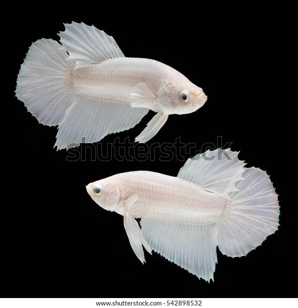Halfmoon Plakad Betta on black background. Beautiful fish. Swimming flutter tail flutter.It male betta. white Platinum.
