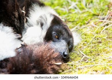 half-sleeping lemur on the ground, horizontal image