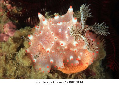 Halgerda Batangas Nudibranch Laying Eggs. Anilao, Philippines