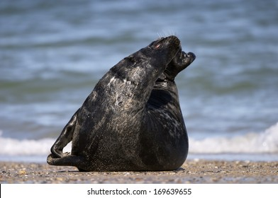 Halichoerus grypus, Grey Seal