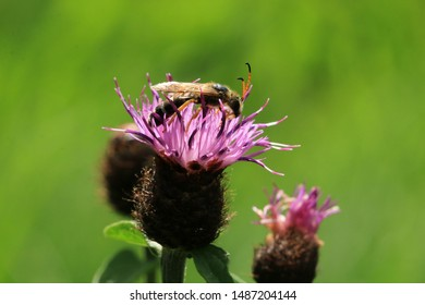 Halictus scabiosae, the great banded furrow-bee