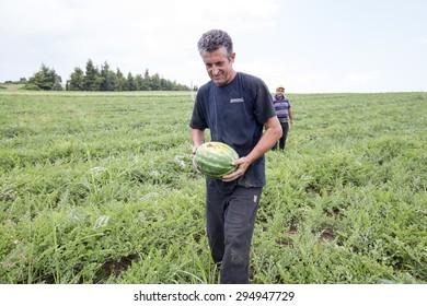 HALKIDIKI , GREECE, JULY 9, 2015: Farmers harvesting watermelons from the field