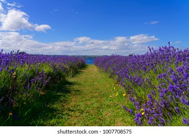 Hall of lavenders that ends with a view of Lake Llanquihue in the city of Frutillar, southern Chile