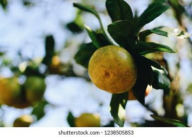 Hallabong fruit. Jeju's famous orange / mikan fruit.
