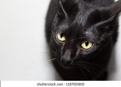 Halloween concept, Black cat. High angle view of Domestic pet sitting on white floor