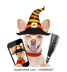 halloween devil,chihuahua dog scared and frightened, isolated on white background, wearing a witch hat, behind white blank banner or placard poster taking a selfie