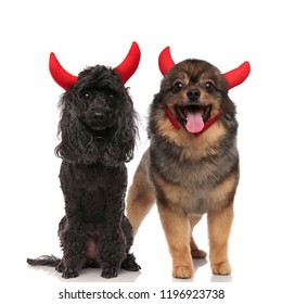 halloween dog couple of a poodle and brown pomeranian wearing red devil horns while standing and sitting on white background