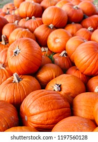 Halloween fresh orange Pumpkins in market in a large pile.