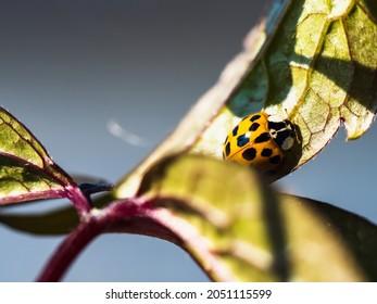 Halloween ladybeetle Harmonia axyridis on a leaf