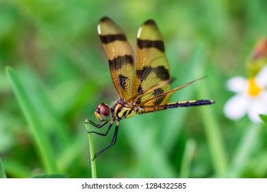 Halloween pennant dragonfly (Celithemis eponina) closeup on blade of grass - Pembroke Pines, Florida, USA