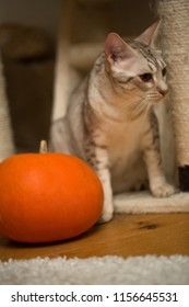 Halloween preparation. Cat and pumpkin. Curious male ocicat plays with pumpkin.