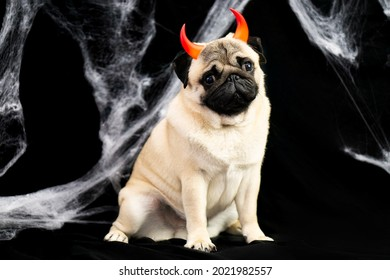 Halloween pug dog with devilish red horns sits on a black background with cobwebs and place for text. Halloween postcard. halloween animals concept.