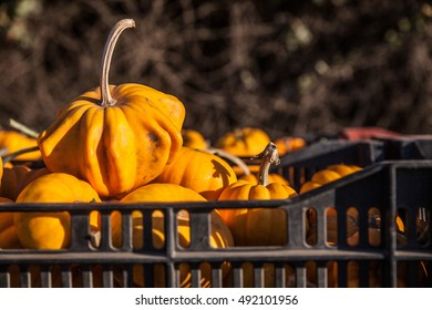 Halloween at a pumpkin patch in Half Moon Bay, California