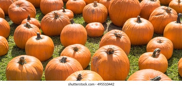 Halloween Pumpkin Patch with many bright orange pumpkins on display at community church garden. Sunny October outdoor afternoon. Panoramic background for fall, autumn, Halloween and Thanksgiving.