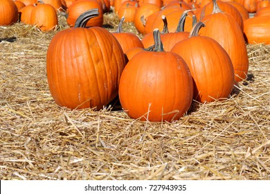 Halloween pumpkin patch on a field of fresh straw.