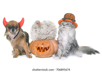 halloween pumpkin and pet in front of white background