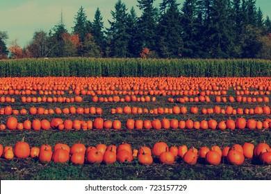 Halloween Pumpkins in a Pumpkin Patch