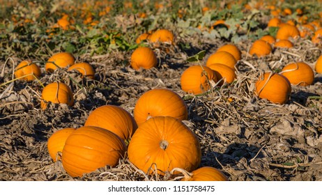 Halloween pumpkins in Rhineland, Germany