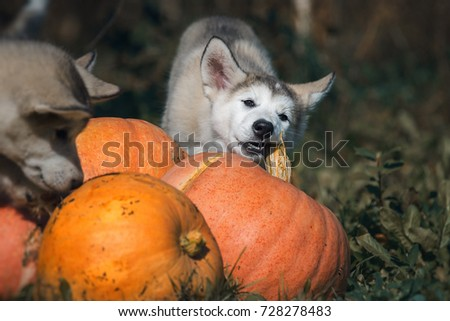 Halloween Puppies Pumpkins Stock Photo Edit Now 728278483