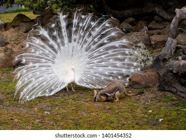 HALLS GAP, VICTORIA, AUSTRALIA - 01 NOVEMBER 2016: A fabulous white peacock puts on an amorous display for a local rock wallaby but the wallaby is unimpressed and blithely continues to graze.