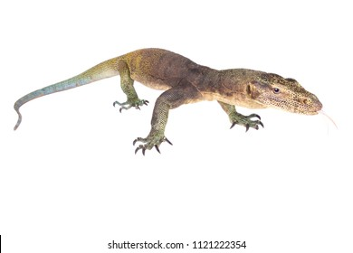 The Halmahera monitor (Varanus yuwonoi) was only described in 1998. This is a rare, giant (up to 2.5 meters) species endemic to the highlands of Halmahera island part of the Moluccas, Indonesia.