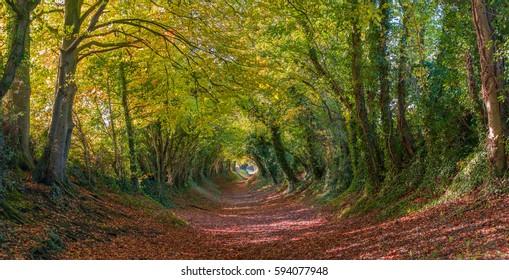 Halnaker-Baumtunnel in Chichester im Herbst, West Sussex, Vereinigtes Königreich