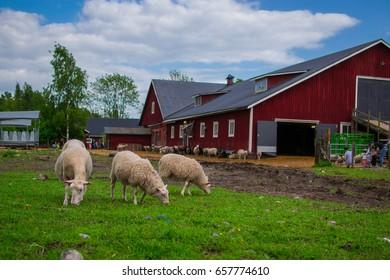 HALTIALA FARM, HELSINKI, FINLAND - JUNE 11, 2017: sheeps eating grass in Haltiala farm