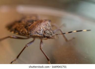 Halyomorpha Halys insect macro photo