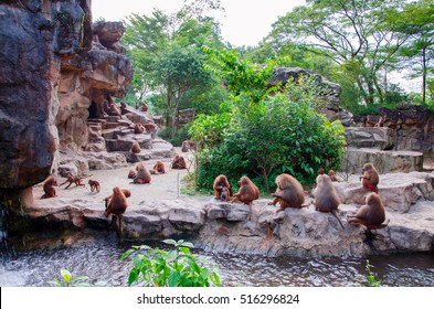 Hamadryad monkeys family are sitting on the stone, Singapore zoo