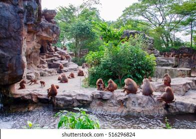 Hamadryad monkeys family are sitting on the stone, Singapore zoo