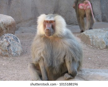 Hamadryas Baboons (Papio hamadryas) in zoo exhibit