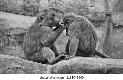 Hamadryas baboons. Two baboons sit on a rock and take care of each other. Wildlife. Close-up portrait. Wild animals. Black and White Photography.