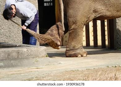 Hamamatsu, Japan, February 27, 2021, zoo keeper cleaning an elephant's foot with a broom