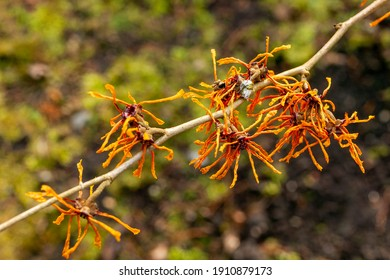 Hamamelis x Intermedia 'Aphrodite' (Witch Hazel) a winter spring flowering shrub plant which has a highly fragrant springtime yellow orange flower and leafless when in bloom stock photo image