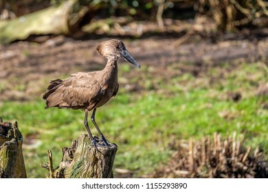 Hamerkop bird is standing on a tree stump on the lookout. The hamerkop is a medium-sized waterbird in south to middle Africa.