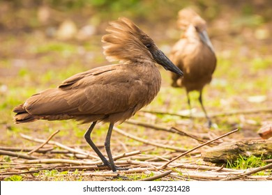 hamerkop Scopus umbretta is a brown medium-sized waterbird with long billin. Africa south of the Sahara