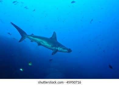 Hammerhead in the blue, Galapagos