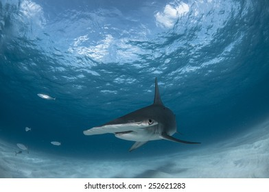 Hammerhead Shark in the Bahamas