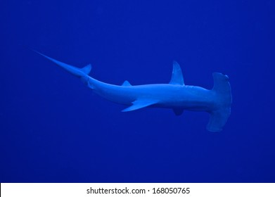 A hammerhead shark circling the divers in a wide arc