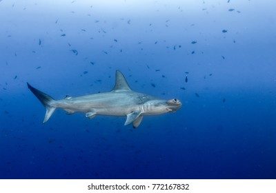 Hammerhead shark at Cocos Island