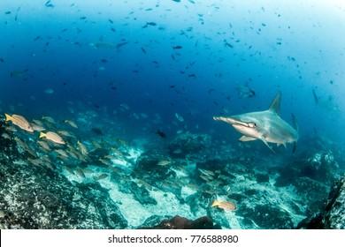 Hammerhead Shark at Cocos Island