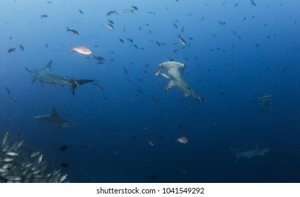 Hammerhead Shark at Cocos Island, Costa Rica