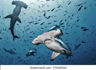 Hammerhead shark, Cocos island, Costa Rica/Close Contact