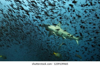 Hammerhead shark in Galapagos