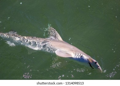 Hammerhead shark in the Gulf of Mexico, Florida