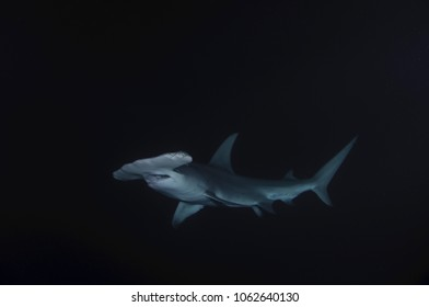 Hammerhead Shark at night in Bimini, Bahamas