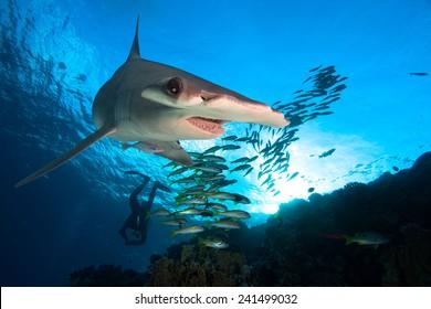 Hammerhead shark and school of fish